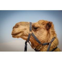 Bagage, camellos y extras